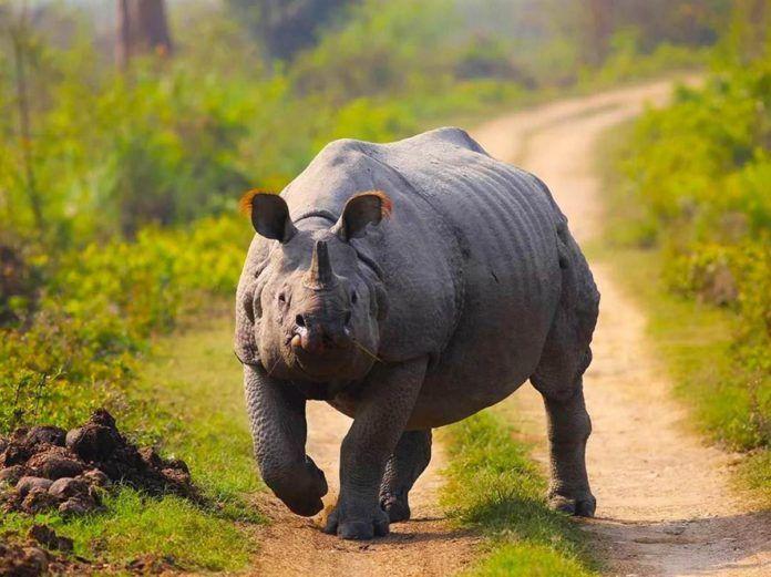 Just The Rhino - Kaziranga